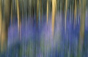 Dragged Prints - Bluebell Wood Print by Don Hooper