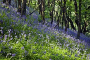 Hyacinthoides Non-scripta Posters - Bluebell Wood Poster by Dr Keith Wheeler
