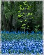 Chris Lord - Bluebell Woods