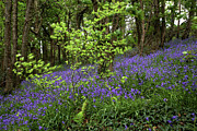 Hyacinthoides Non-scripta Posters - Bluebells (hyacinthoides Non-scripta) Poster by Dr Keith Wheeler