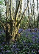 Hyacinthoides Non-scripta Posters - Bluebells (hyacinthoides Non-sripta) Poster by Bob Gibbons
