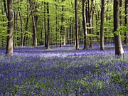 Hyacinthoides Non-scripta Posters - Bluebells In Woodland Poster by Adrian Bicker