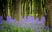 Woods Woodlands Posters - Bluebells Poster by Jane Rix
