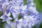 Close Focus Nature Scene Photo Posters - Bluebells Poster by Nick Dolding