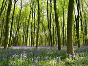 Beech Prints - Bluebells of Micheldever Wood Print by Alex Cassels