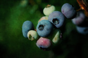 Blueberry Posters - Blueberries Poster by Cindi Ressler