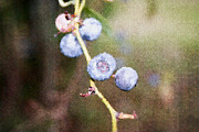 Blueberry Paintings - Blueberries  by Ester  Rogers