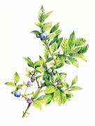 Maine Drawings Prints - Blueberry branch Print by Betsy Gray