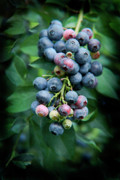 Kim Henderson Framed Prints - Blueberry Cluster Framed Print by Kim Henderson