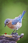 Eastern Bluebird Posters - Bluebird and Ladybird Poster by Bonnie Barry