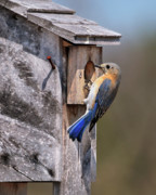 Eastern Bluebird Framed Prints - Bluebird and Nest Box Framed Print by Betty LaRue