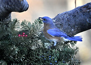 Bluebird Berry Print by Nava Jo Thompson