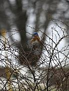 Bluebird Metal Prints - Bluebird in Briars Metal Print by Teresa Mucha