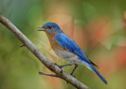 Sialia Sialis Metal Prints - Bluebird in Spring Metal Print by Bonnie Barry