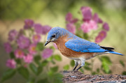 Eastern Bluebird Posters - Bluebird in the Rose Garden Poster by Bonnie Barry