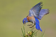 Bluebird Metal Prints - Bluebird Metal Print by Mallardg500