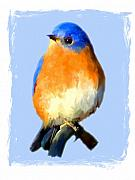 Backyard Birds Prints - Bluebird on Blue Print by Jai Johnson