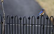 Bluebird Metal Prints - Bluebird on Fence Metal Print by Teresa Mucha