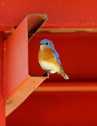 Bluebird Metal Prints - Bluebird On Red Metal Print by Robert Frederick