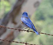 Bluebird Metal Prints - Bluebird on the fence Metal Print by Liz Vernand
