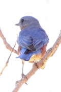Birdie Prints - Bluebird On White Print by Robert Frederick