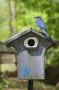 Birds Art - Bluebird Sentinel by Gregory Scott