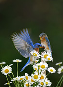 Randall Branham Prints - Bluebirds Picnicking In The Daisies Print by Randall Branham