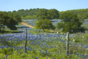 Bluebonnets Framed Prints - Bluebonnet Fields Framed Print by Robert Anschutz