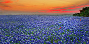 Wild Flowers Posters - Bluebonnet Sunset Vista - Texas landscape Poster by Jon Holiday