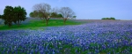 Blue Bonnets Posters - Bluebonnet Vista - Texas Bluebonnet wildflowers landscape flowers  Poster by Jon Holiday