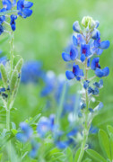 Blue Flowers Photos - Bluebonnets by Stephen Anderson