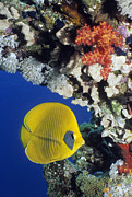 Pisces Photos - Bluecheek Butterflyfish by Georgette Douwma