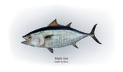 Game Fish Drawings Framed Prints - Bluefin Tuna Framed Print by Ralph Martens