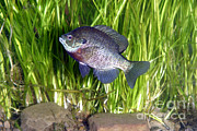 Freshwater Photo Posters - Bluegill Lapomis Macrochirus Poster by Ted Kinsman