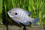 Freshwater Photo Posters - Bluegill Lepomis Macrochirus Poster by Ted Kinsman