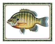 Panfish Framed Prints - Bluegill print Framed Print by JQ Licensing