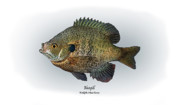 Game Fish Drawings Framed Prints - Bluegill Framed Print by Ralph Martens