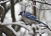 Blue Jay Framed Prints - Bluejay 3648 Framed Print by Michael Peychich