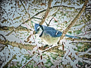 Bluejay Digital Art Posters - Bluejay in Birches Poster by John Selmer Sr
