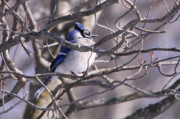 Bluejay Metal Prints - Bluejay in the Branches Metal Print by Cathy  Beharriell