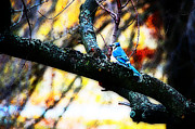 Birding Photo Prints - BlueJay in Watercolor Print by Simone Hester