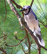 Blue Jay Picture Framed Prints - Bluejay Framed Print by Roena King