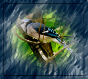 Blue Jay Picture Framed Prints - Blues Jay 1 Framed Print by Debra     Vatalaro
