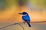 Kingfisher Photo Acrylic Prints - BlueSuit Acrylic Print by Douglas Barnard