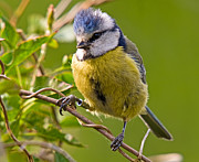 Peter Chapman - Bluetit
