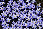 Color Purple Framed Prints - Bluets in Shade Framed Print by Thomas R Fletcher