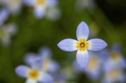 Great Smoky Mountains Prints - Bluets in the Smokies Print by Andrew Soundarajan