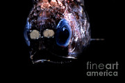 Featured Art - Blunt Face Lampfish by Dante Fenolio
