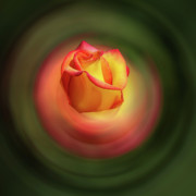Photoshop Cs5 Digital Art Posters - Bluring the Rose Poster by Dale Stillman