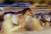 Wild Horses Framed Prints - Blurred View Of Horses Running Through Framed Print by Natural Selection Craig Tuttle